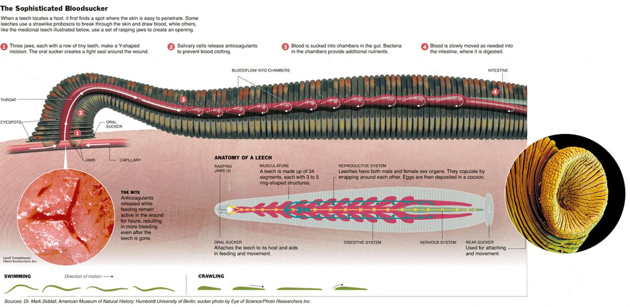 Biologie der Blutegel