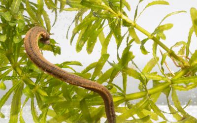 Blutegel – Kleine Helfer aus der Natur